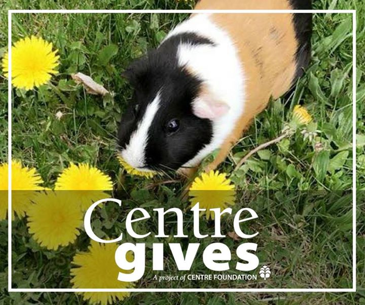 """Strawberry the Guinea Pig asks, """"Have you donated to ACRES yet?"""" #CentreGives ends tonight at 8 PM!  https://centregives.org/organizations/79"""