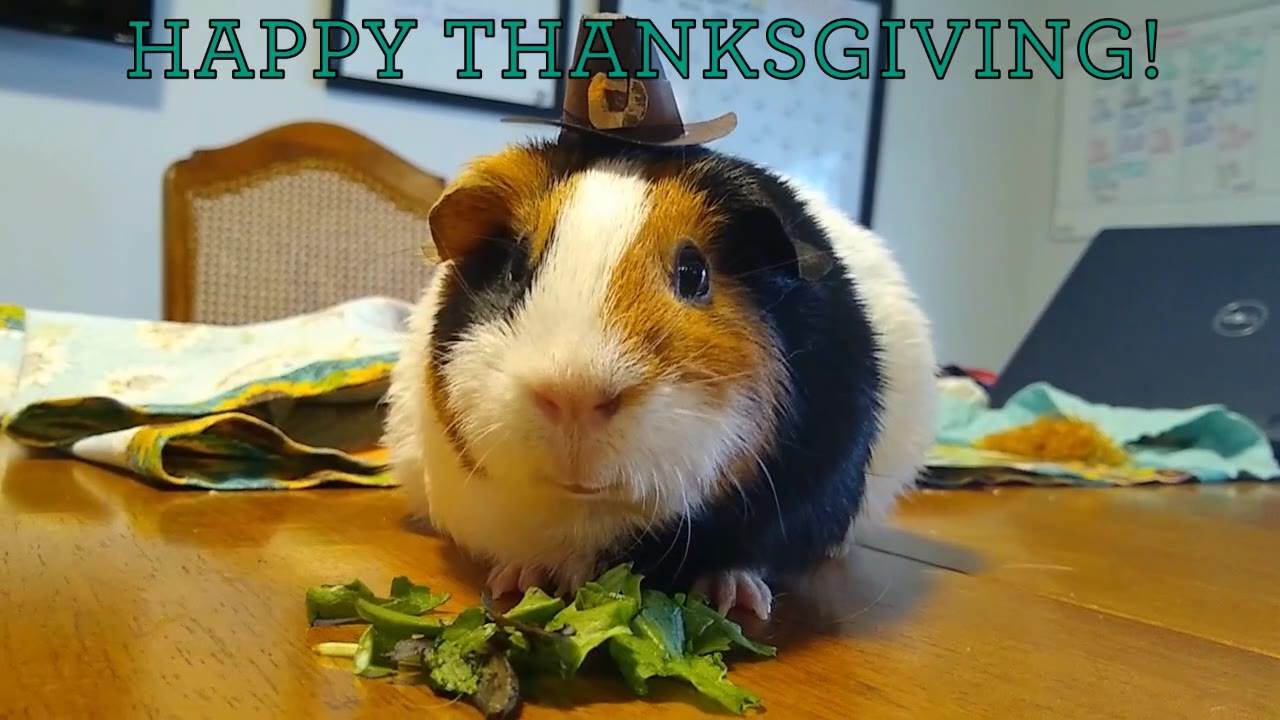 Happy Thanksgiving from Maple the guinea pig and everyone at the ACRES Project!