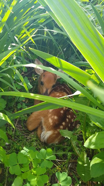 ACRES is a safe place for everyone, even this dear little deer! His mother bedded him down in our flower bed next to the house today. He will lie ther